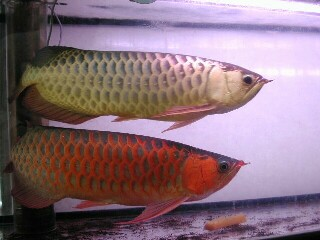 Magnificent arowana fishes at good prices.