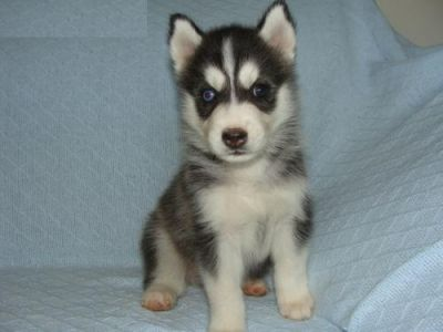 Healthy Male And Female Siberian Husky Puppies For Sale