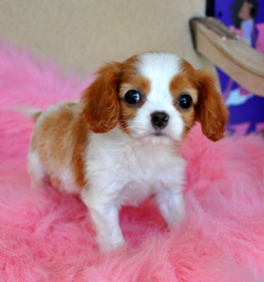cavalier king charlse spaniel puppies ready for sale