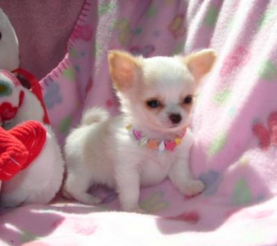 available chichuchupuppy for sale