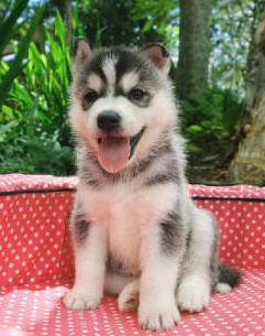ADMIRABLE SIBERIAN HUSKY FOR FREE ADOPTION