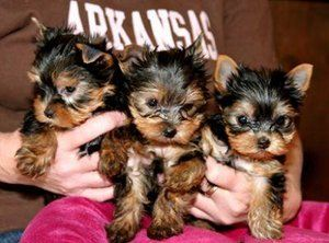 Healthy tinny cute teacup yorkie puppies for free adoption