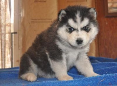 Akc In Md! Siberian Husky Puppies for Sale