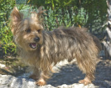 quality akc registered male and female yorkie puppies for adoption