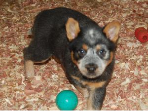 Pure-australian cattle dog PUPPIES FOR SALE!! 3