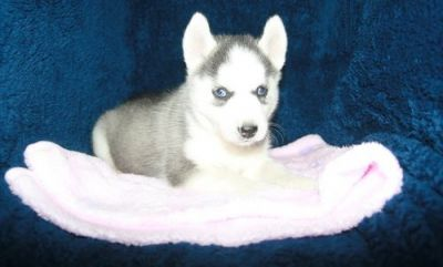 Well hone trained Siberiab Husky puppies for adoption