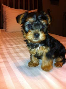 Lovely male teacup yorkie to good home