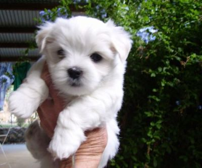 Healthy Maltese puppies for adoption