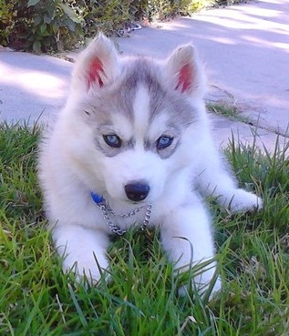 Lovely Blue Eyes Siberian Husky Puppies For Homes Now