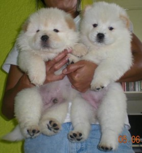 chow chow puppies available for adoption in to new homes.