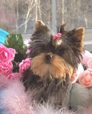 excellent tea cup yorkies for  adoption