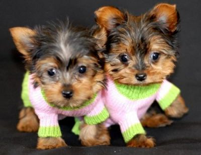 Yorkshire Terrier male and female 14 weeks