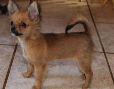 Chihuahua Puppies For Adoption Male and Female Ready To Go Now