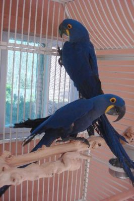 Hyacinth Macaws,Blue and Gold Macaws Available For Sale