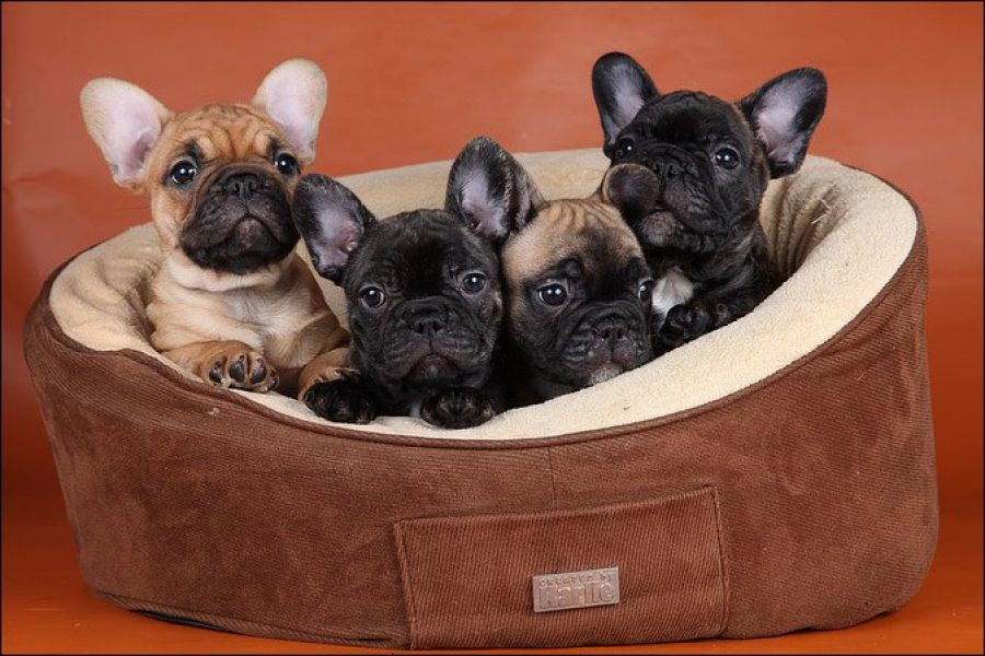 British and French Bulldog Pups available