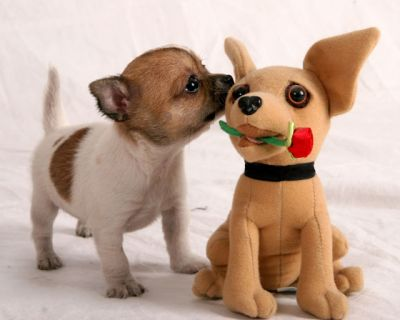 Top Chihuahua Puppies For Kids.