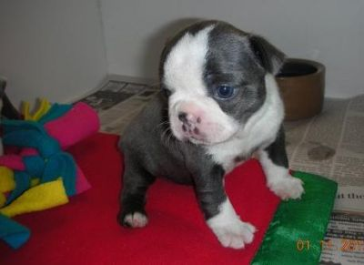 Playful Boston Terrier puppies Available for Good poeplse