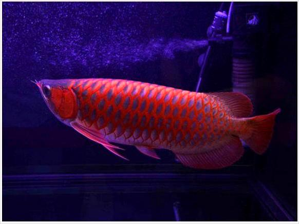 Asian Red,Chili Red,24 K Golden Arowana Fish,Diamond stingray Fishes For Sale