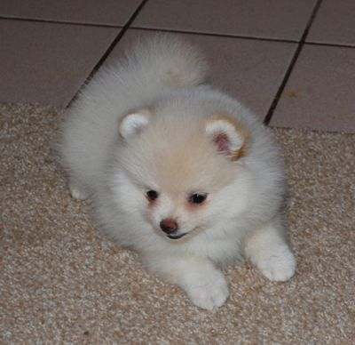 Cute Lovely Pomeranian Puppies