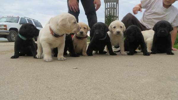 Pedigree & registered Labrador retriever pups