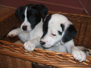 Akc Registered jack russel Puppies for Valentine's!