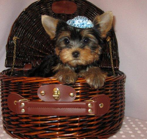 Sweet Little Yorkie for Adoption