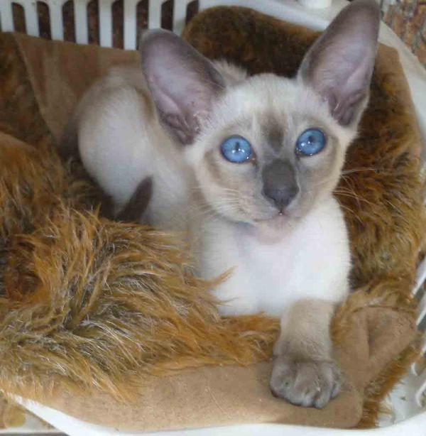 Siamese Kittens Available