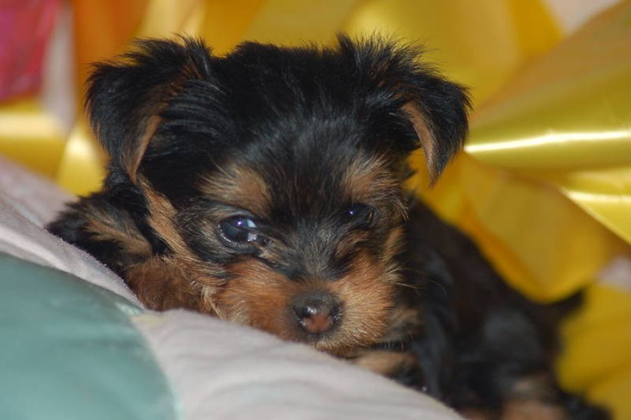 Yorkie puppies available for adoption sms (303) 990-5675
