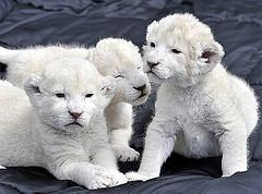 exotic feline white lion cubs and tiger cubs available.