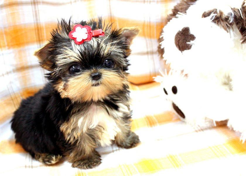 Super Cute Yorkie Male & Female Puppies For Adoption