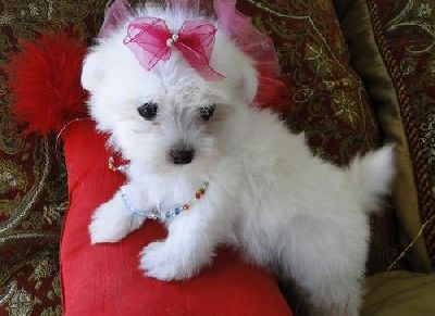 cute and adorable maltese  puppies for adoption