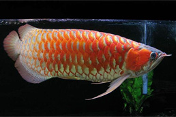 Rtg, Chili Red, Super Red, Asian red, golden Xback and many other arwoana fishes !!!