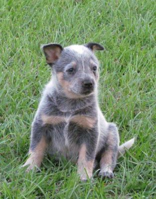FEMALE BLUE HEELER PUPPY FOR ADOPTION