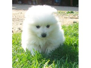 Beautiful looking american eskimo pups for homes