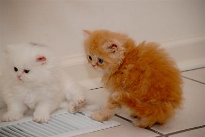 2 TICA PERSIAN KITTENS FOR ADOPTION