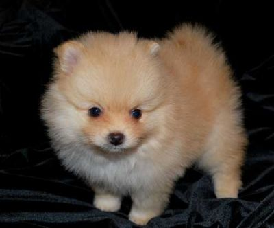 lovely Pomeranian puppies for a caring home for sale
