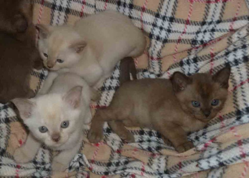 Burmese Kittens Available.