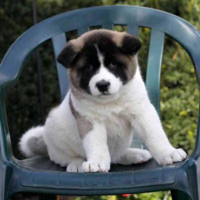 Akita puppies for  re-homing