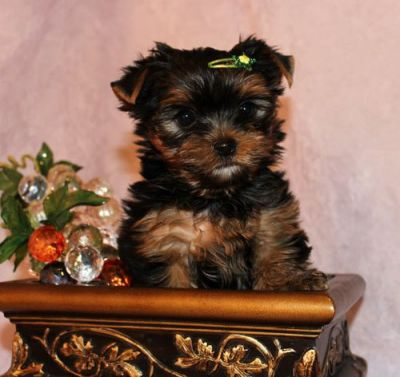 AKC  teacup Yorkshire Puppies-Ready to Go…