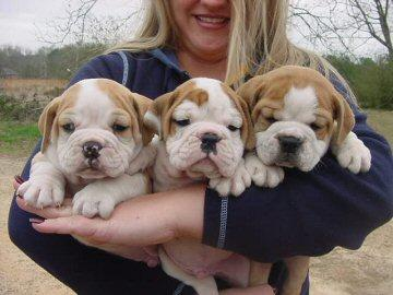 Trained and lovely English Bulldog Puppies
