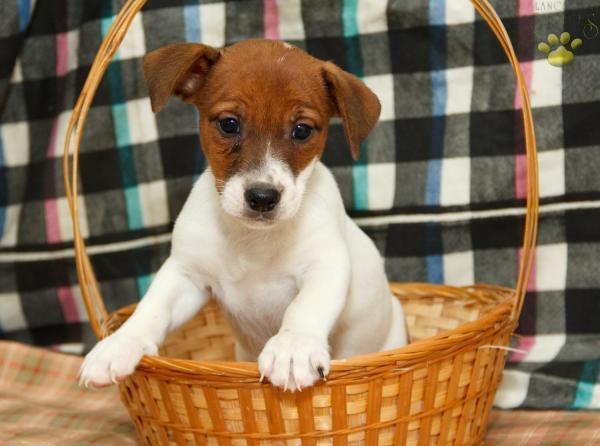 Sweet Jack Russell Terrier puppies for adoption.