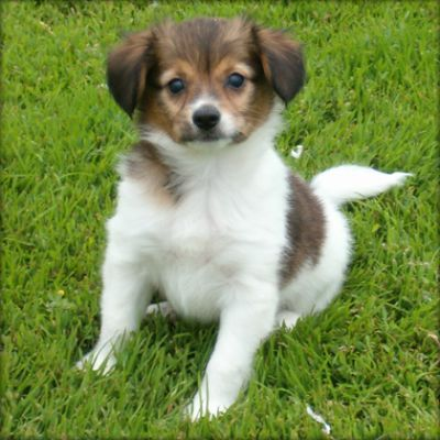 BEAUTIFUL SWEET LOVELY MALE AND FEMALE PAPILLON PUPPIES FOR SALE NOW READY TO GO HOME