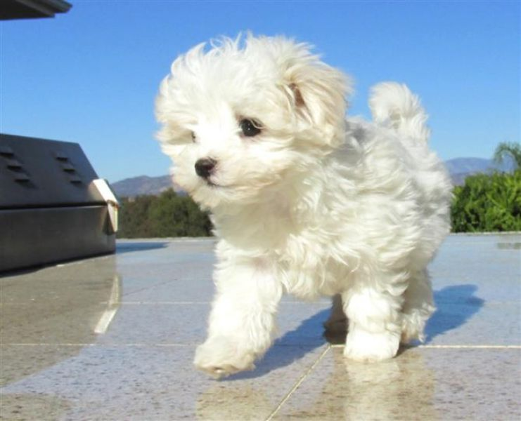 Lovely Maltese pup for sale