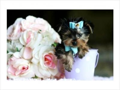 Yorkies for sale to caring homes