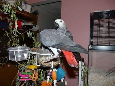 speaking african grey parrots looking for a new home