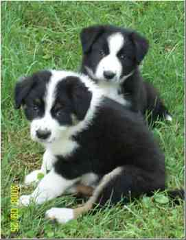 very Beautiful border collie puppies For New Homes