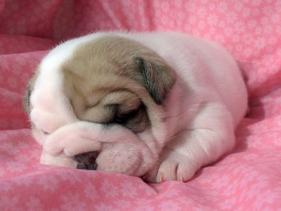 delightful and playful male and female english bulldog puppies for caring homes