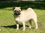 beautiful pug puppy for sale
