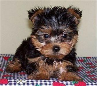 High personality Yorkie puppies for adoption .