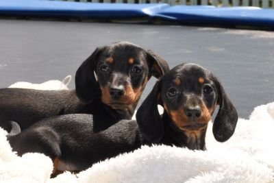 Adorable Dachshund Puppies Ready For Your Lovely Homes.